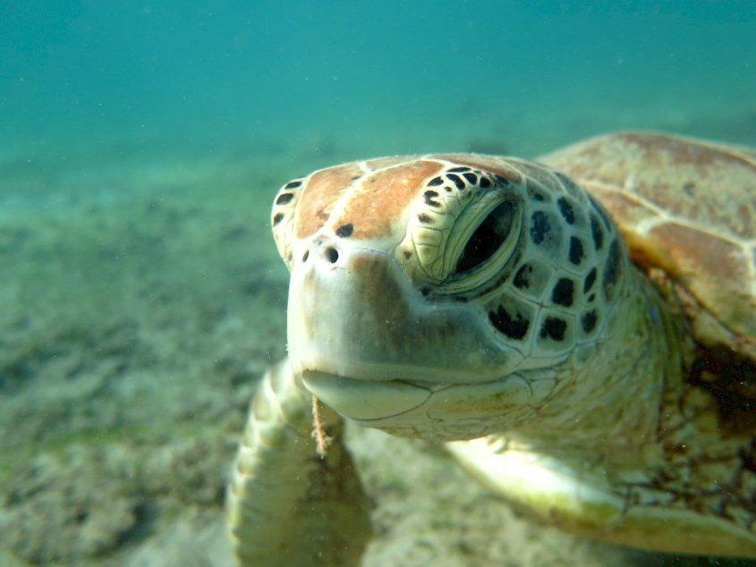 Une tortue marine broute l'herbier sous marin de la plage de N'Gouja