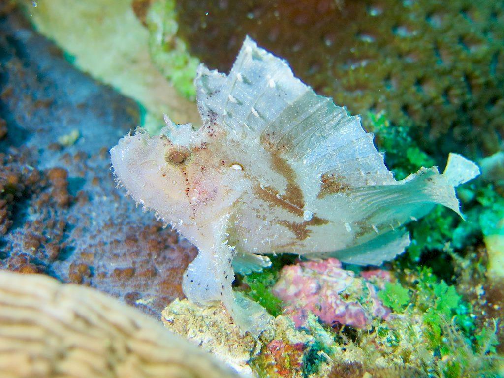 Un poisson frog fish blanc lors d'une plongée à Mayotte