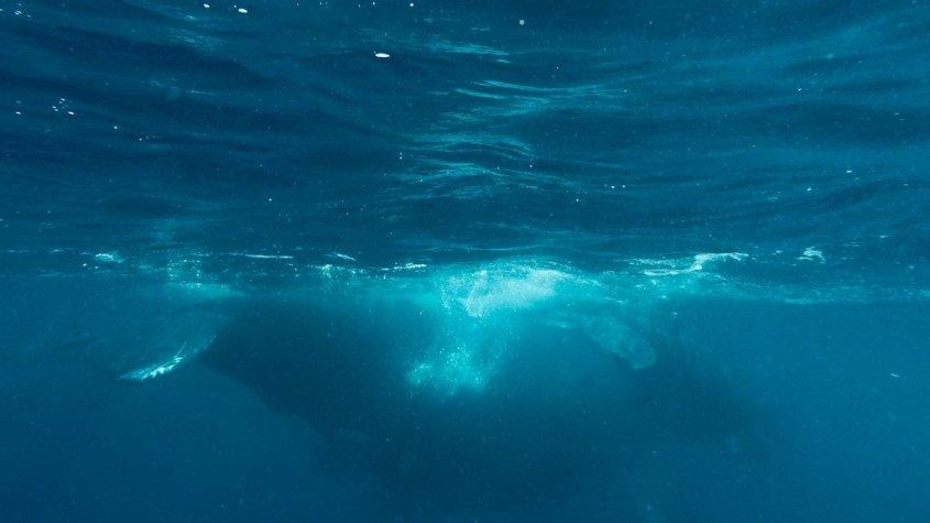 Plonger avec les baleines à Mayotte et observer une femelle avec son baleineau qui s'éloignent