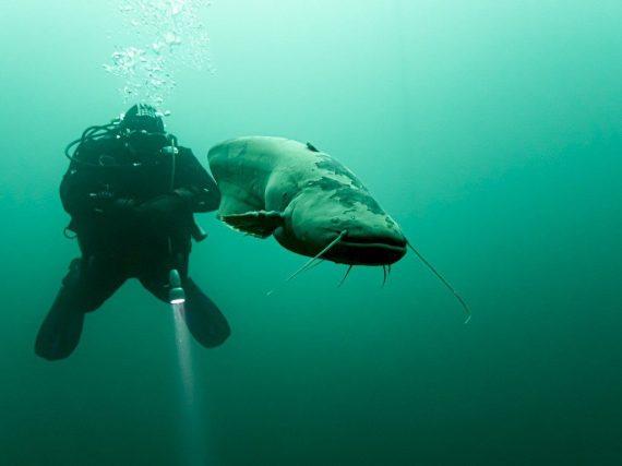 Un plongeur avec un silure