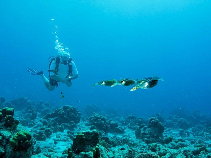 Trois seiches passent devant un plongeur à Bonaire.