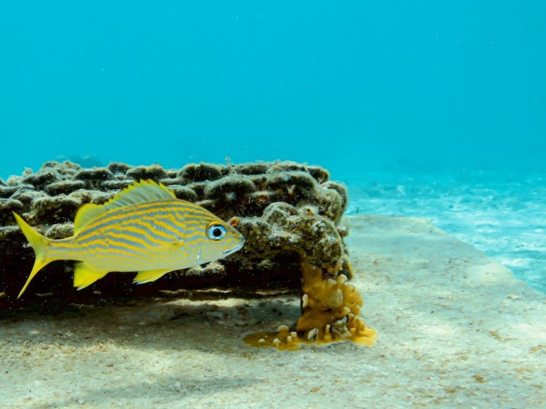 Un poisson tranquille dans les eaux claires de Bonaire.