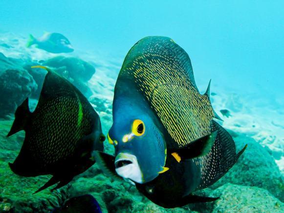En allant plonger à Bonaire on peut admirer de nombreux poissons comme ce poisson ange