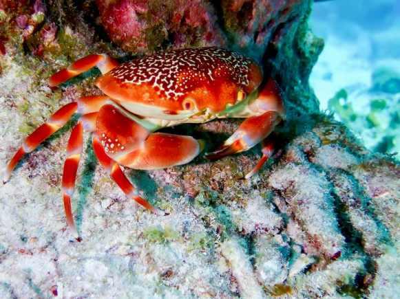 Un crabe rouge.