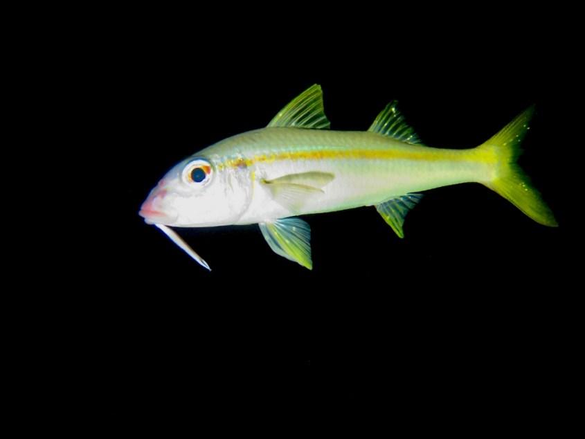 Un poisson photographié lors d'une plongée de nuit à Bonaire.