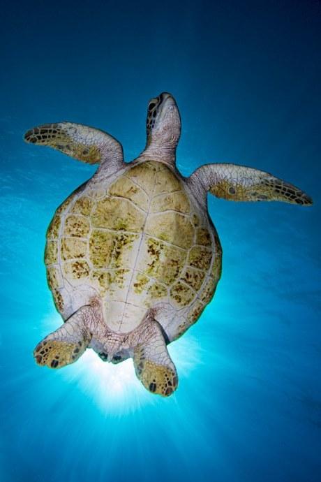 Une tortue marine photographiée du dessous cache les rayons du soleil.
