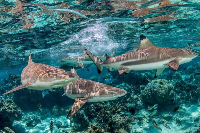 Des requins en eaux peu profonde évoluent dans un lagon.
