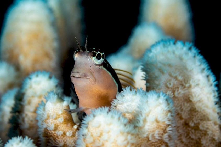 Un minuscule poisson dans les coraux.