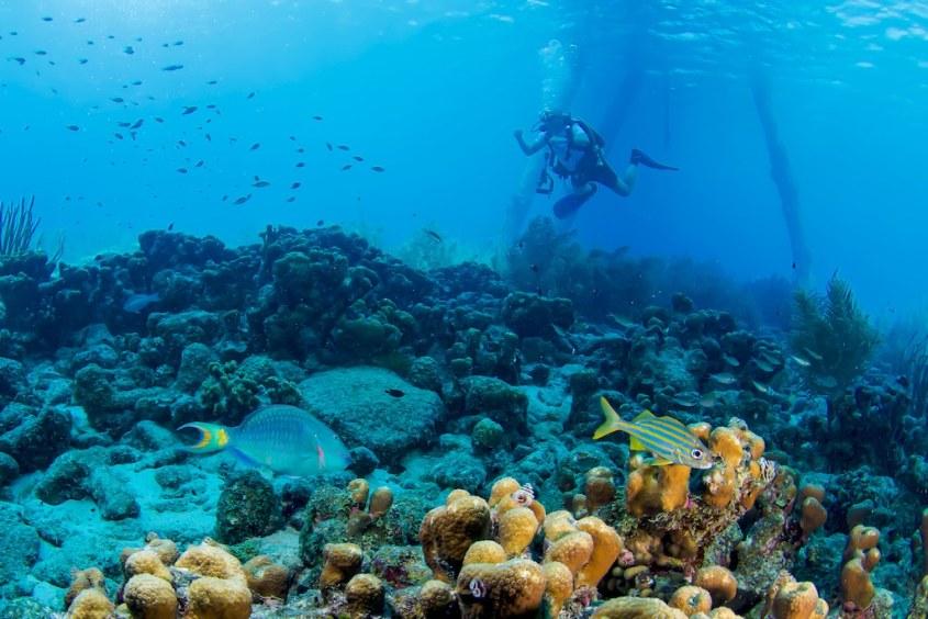 Un plongeur observe des poissons en arrière plan d'une scène avec un poisson perroquet dans les eaux de Bonaire