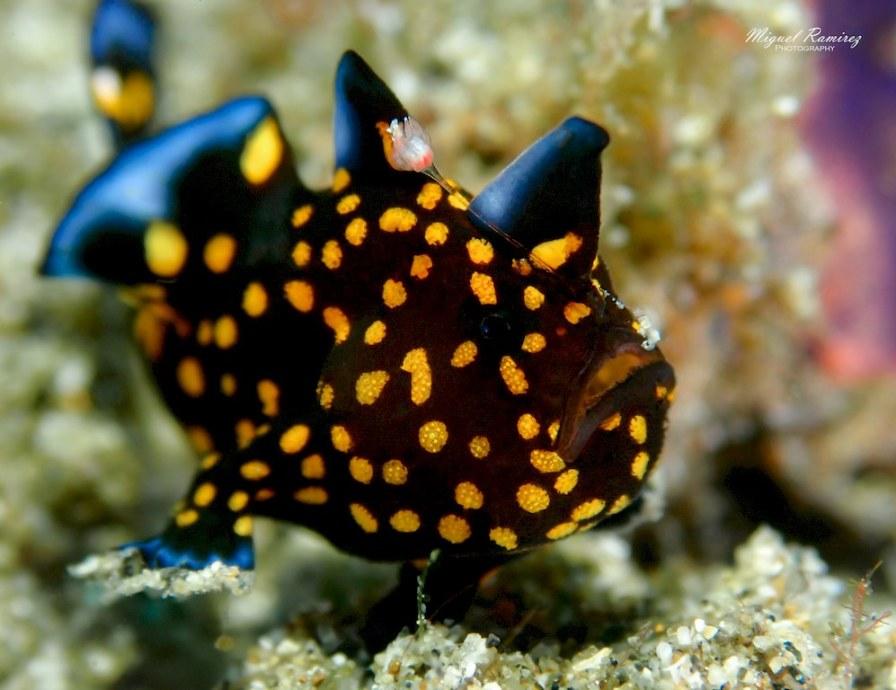Un frog fish noir et jaune.