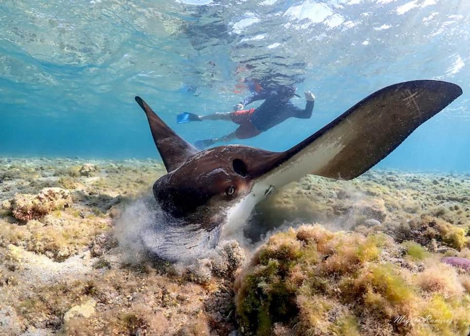 Rencontre insolite dans le lagon en snorkeling avec une raie aigle qui se nourrit.