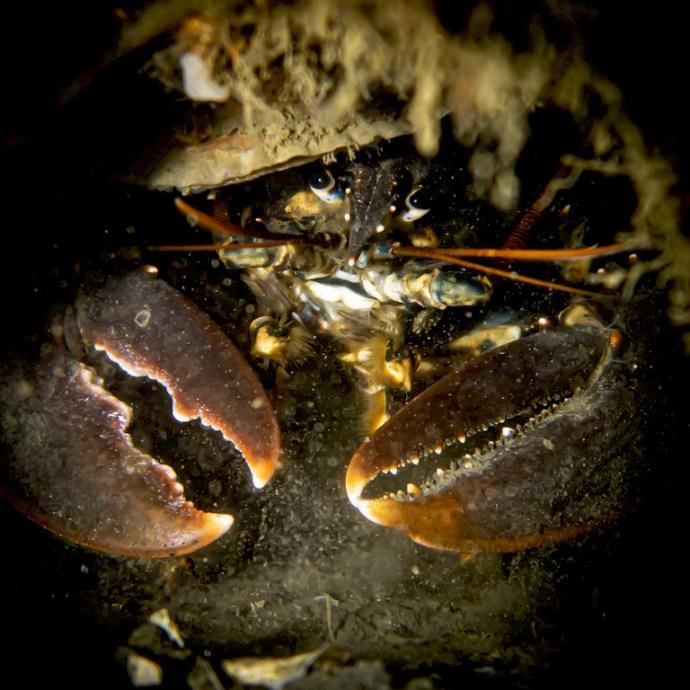 Un homard caché sous des huitres
