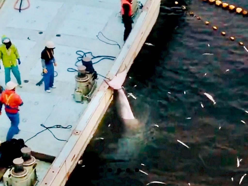 Une baleine tuée à Taiji au Japon et remontée sur un bateau de pêche.