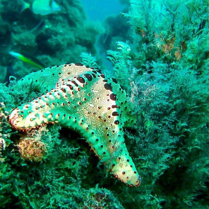 Plonger au Sénégal et découvrir des nuances de bleu dans lesquelles trouver des étoiles de mer comme celle-ci.