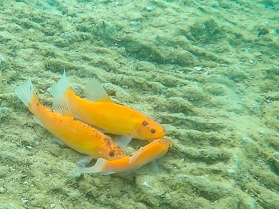 Trois poissons rouges.
