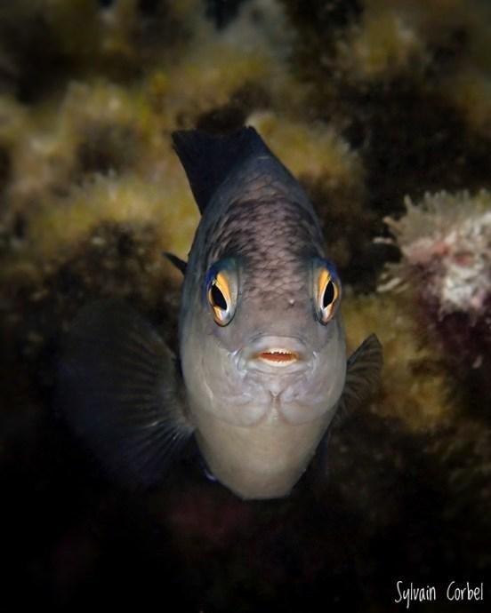 Un Grégoire noir dans les eaux du lagon de l'Hermitage à La Réunion.