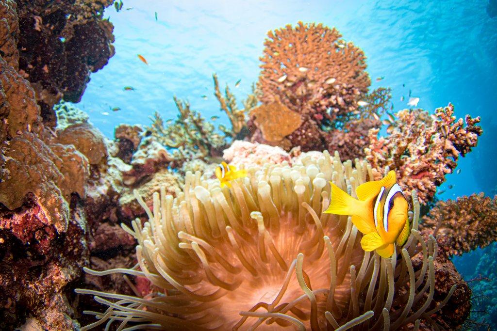 Un poisson clown dans les eaux de la mer Rouge en Egypte.