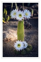 white night blooming cactus flowers
