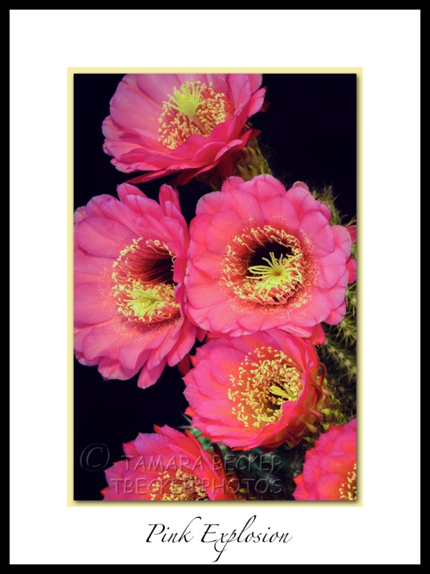 pink night blooming cactus flower