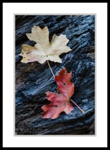 maple-leaves-west-fork-2965