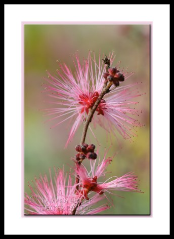 fairy duster pink
