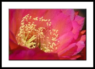 Trichocereus Grandiflora Cactus Flower