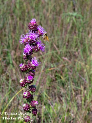 Tallgrass-Prairie-National-Preserve-6529