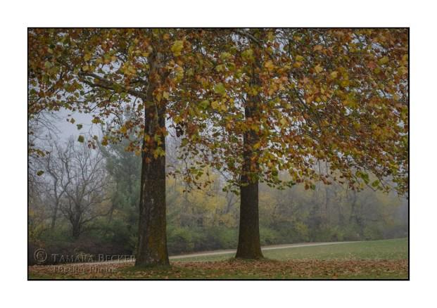 autumn-trees-fog-TJB2232