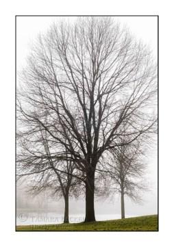 trees-fog-TJB2196