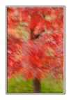 Intentional camera movement created this abstract image of a Red Maple, Acer rubrum