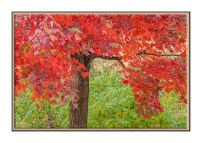 A gentle breeze blowing the leaves on a Red Maple, Acer rubrum