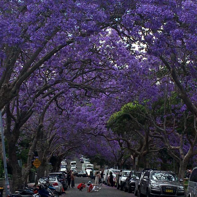 The Jacaranda tree Tunnel in McDougall Street Sydney is a photographers dream between October and November, jacaranda blooming season.