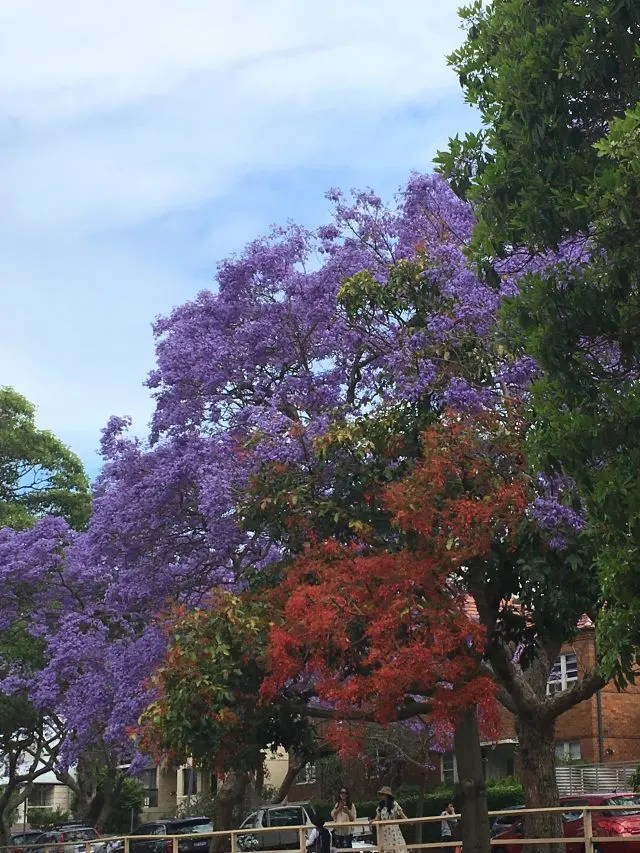 McDougall Street in Kirribilli is one of the best places in Sydney to photograph jacaranda trees
