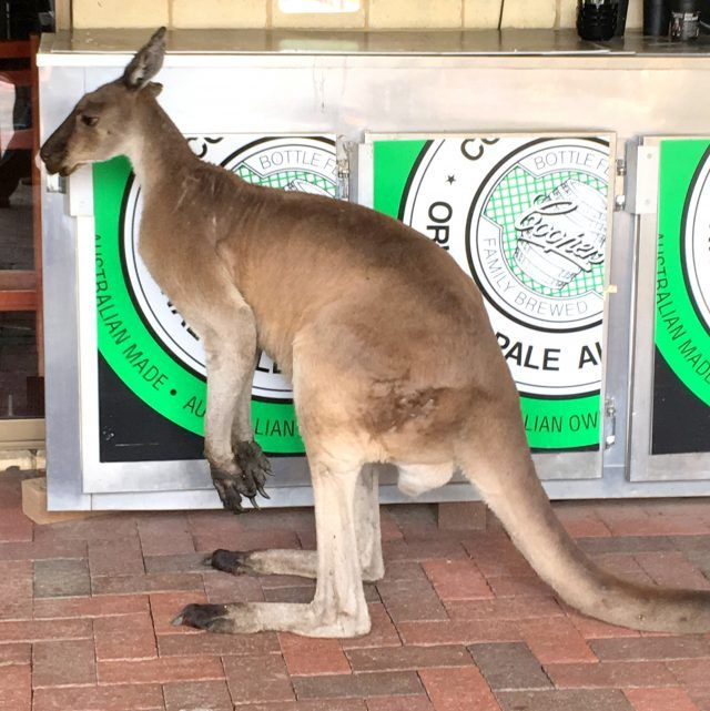 John Forrest Tavern just outside Perth has it's own mob of roos that like to join you in the beer garden making it a great place to see kangaroos in Perth. What happened when we had a schooner with Skippy.