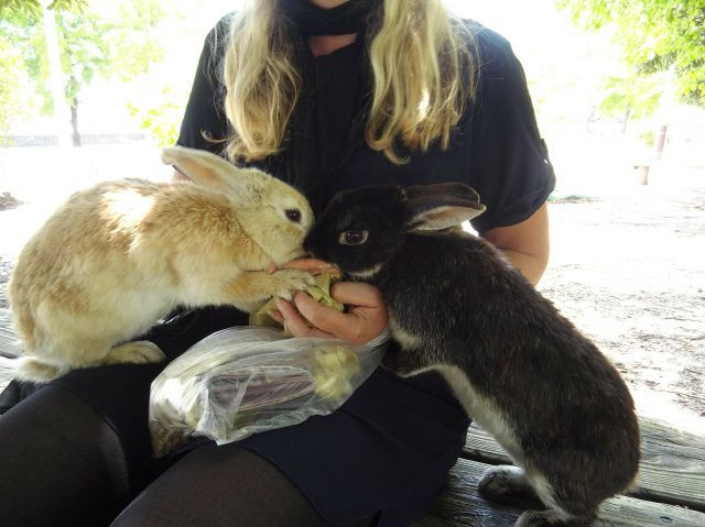 Rabbit Island, aka Okunoshima is an island off the coast of Japan inhibitated solely by bunnies - here's all you need to know to visit