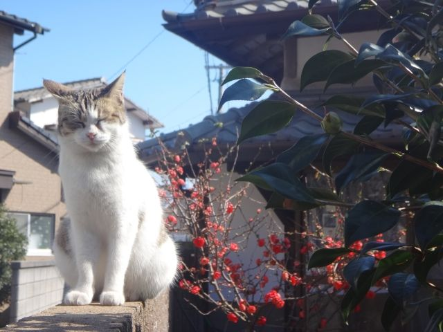 One of the 150 cats that like on Ainoshima cat island., Japan.