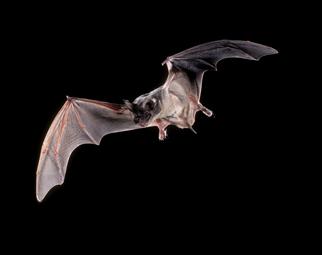 Brazilian Free-tailed Bat - Digestive System Phyla