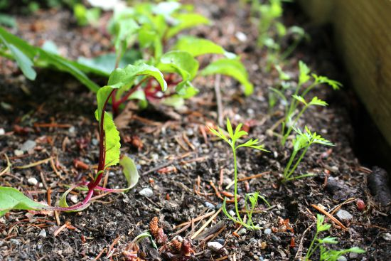 carrot beet seedlings