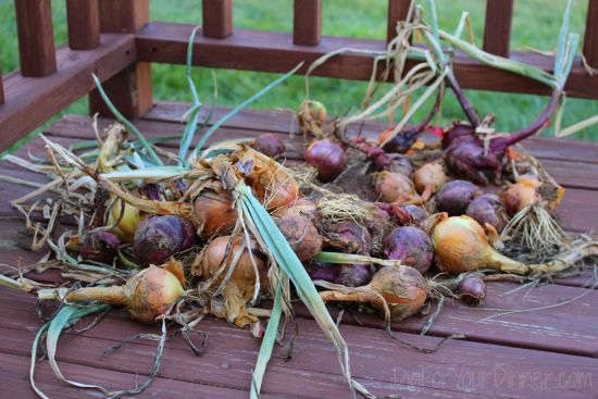drying onions on back porch
