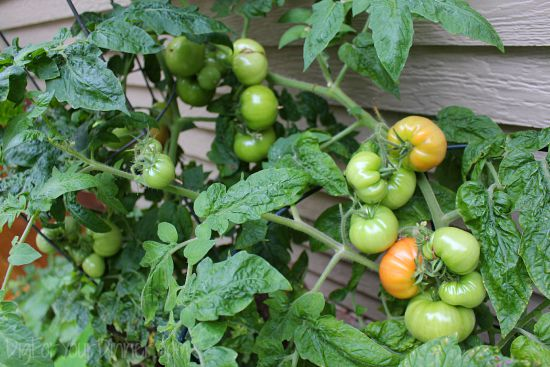 patio tomatoes ripening