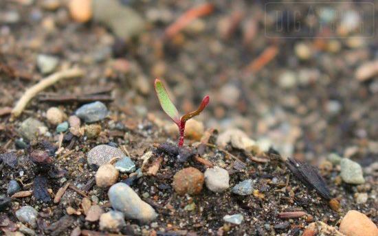 beet-seedling
