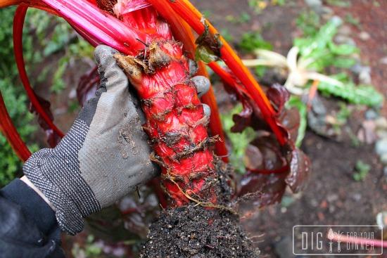 growing rainbow swiss chard in winter