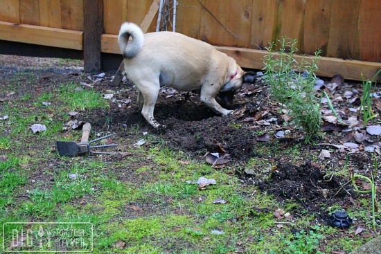 lucy the puggle dog digging in garden