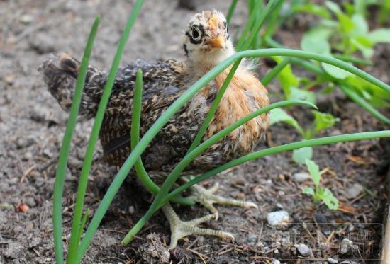 baby chick in garden
