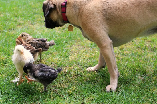 lucy puggle dog baby chickens chicks