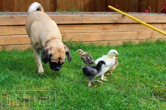 lucy puggle dog with chickens