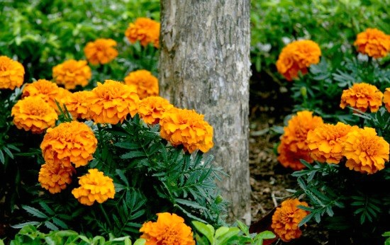 Planting Guide - Growing Marigolds from Seed - Dig for Your Dinner