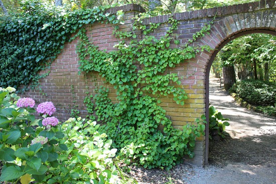 ivy growing o brick garden wall