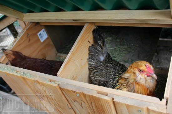 nesting box chickens
