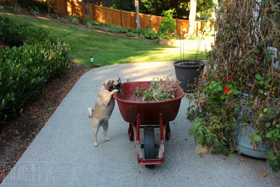 lucy-puggle-dog-garden